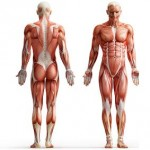 Anatomy-Physiology-Course-150x150